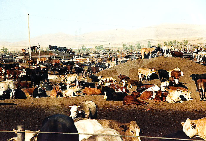 cattle_in_harris_ranch_feedlot