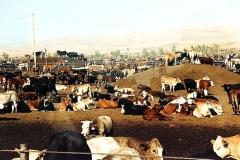 cattle_in_harris_ranch_feedlot